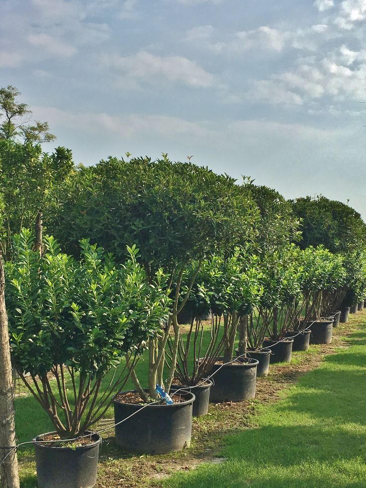 "Prunus laurocras a ""paracadute"" ||| Cespugli per tutti i gusti, per ogni progetto, per ogni giardino: Buxus Quercus Ilex, Prunus lusitanica, Photinia,...."