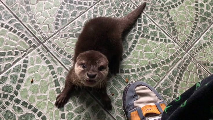 ( ANIMAL ) DUMA - OUR PET OTTER - BERANG BERANG - MAIN PIANO - CUTE - LUCU
