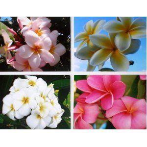 frangipani cuttings online dating