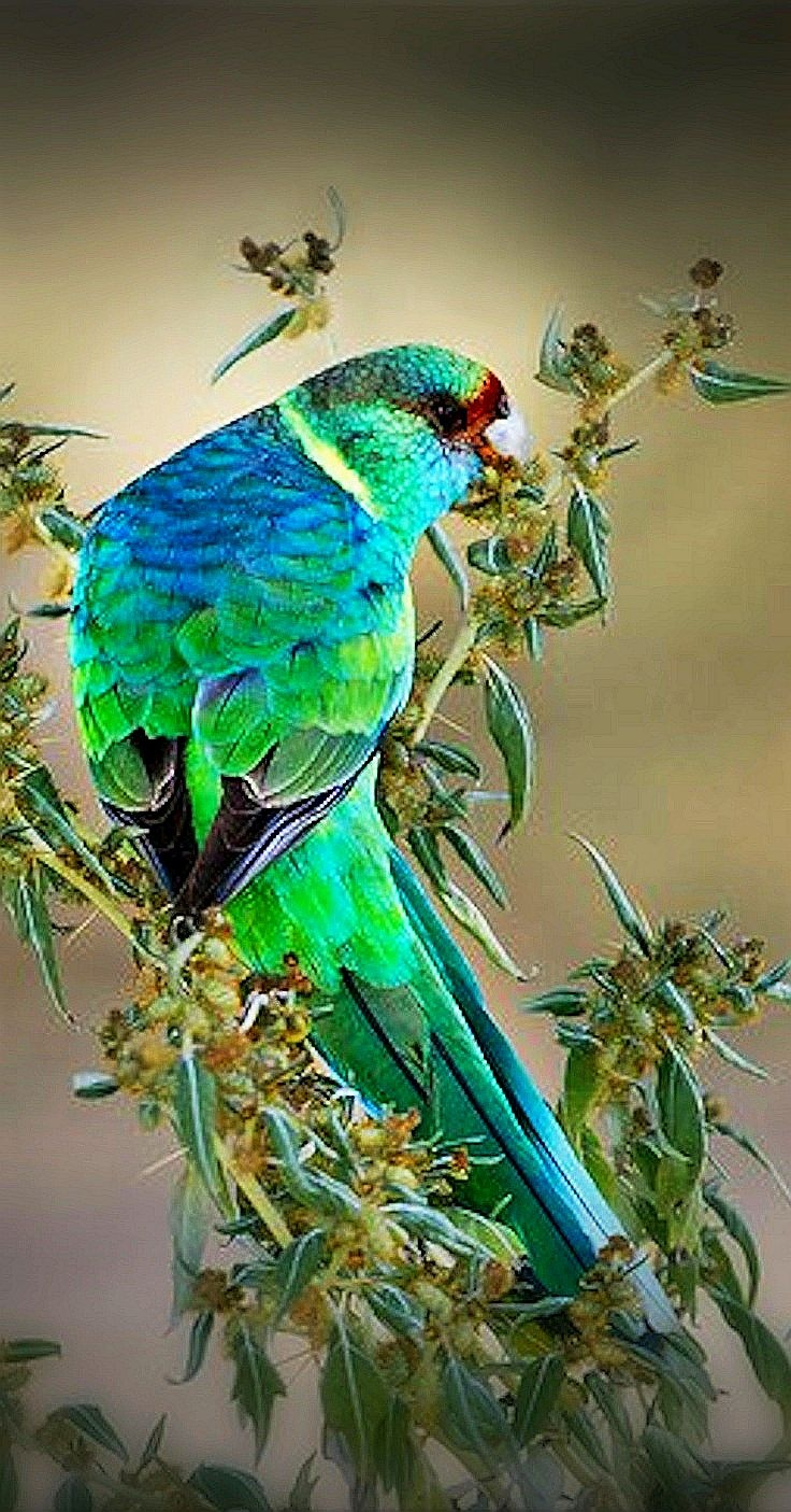 Australian Ringneck Birds Pinterest Just Love