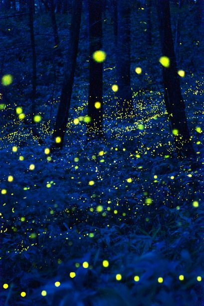 Fireflies-Lightbugs An amazing animal, an impressive part of nature #Tiny #Forest #Lightbug