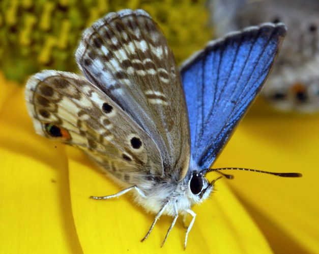 """Florida's most endangered butterfly may not have survived Hurricane Irma 