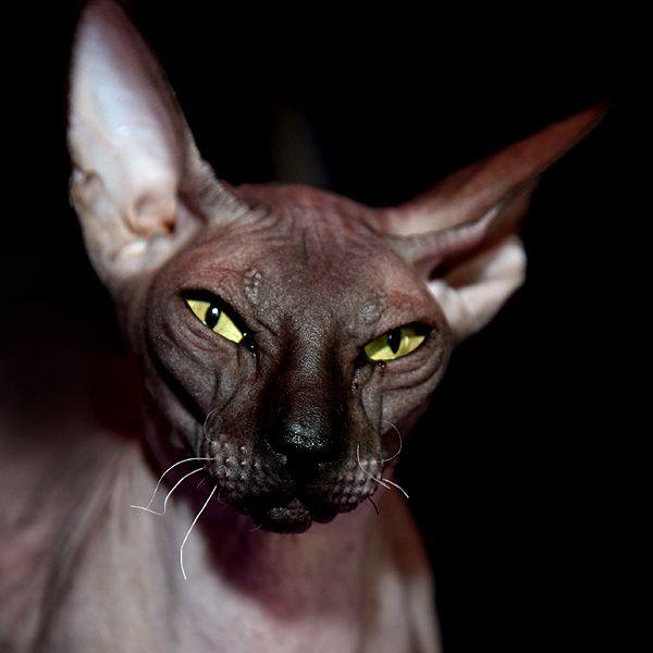 hairless cat.. how can you not want one of these beauties!