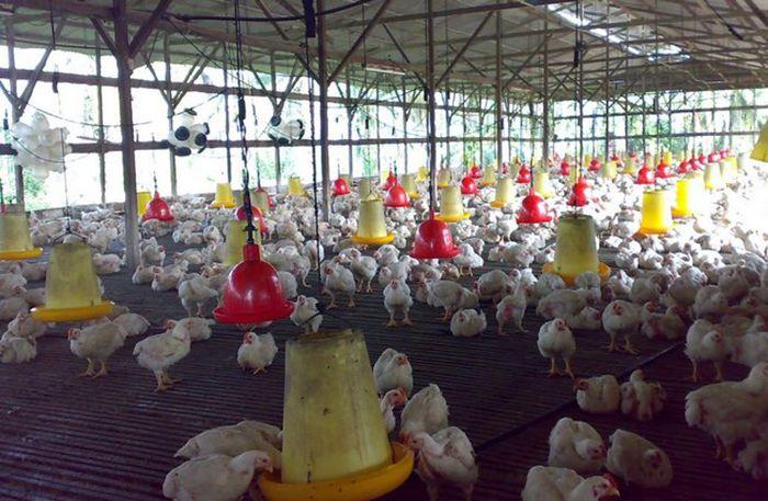Harga naik kerana ayam sakit tekak KPDNKK tak pasti   Dikatakan bahawa harga ayam turut naik semasa musim hari raya kali ini yang berpunca daripada ayam-ayam mengalami wabak bronkitis berjangkit (IB) atau sakit kerongkong.  Sebaliknya pihak Kementerian Perdagangan Dalam Negeri Koperasi dan Kepengunaan(KPDNKK) beranggapan ia hanya merupakan andaian semata-mata.  Harga naik kerana ayam sakit tekak KPDNKK tak pasti  Ia hanyalah spekulasi. Kita tidak pasti harga ayam naik sebab apa kerana pihak…