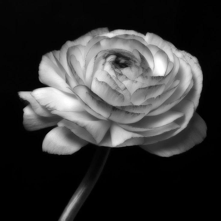 Black and White Fine Art | ... black-and-white-roses-flowers-macro-fine-art-photography-artecco-fine