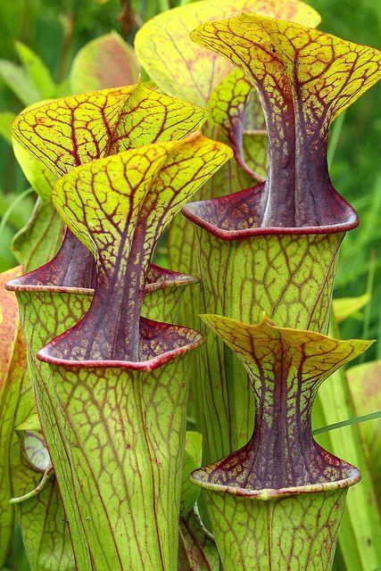 Rare Green Pitcher Plant