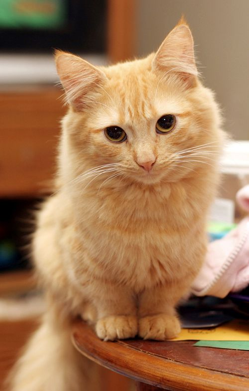orange munchkin cat! | pitbulls and cats