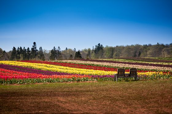 Colouful Fields of Tulips by jeffdungca