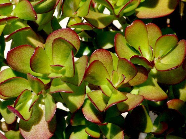 Arborele de jad sau planta banilor