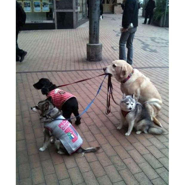 dog-walking dog: Labs, Friends, Dogs Walker, Pet, Doggies, Funny, Puppys, Responses, Animal