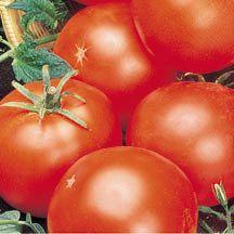 Abe Lincoln Improved Hybrid Tomato | Hybrid Tomato Seeds | Medium-Large Tomato Seeds | Tomato Seeds | Totally Tomatoes