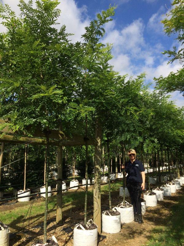 Sophora japonica Regent