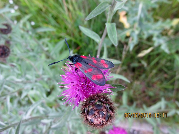 Six-spotted Burnet Moth 2015