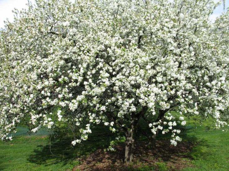 White angel crabapple malus inglis missouri botanical Missouri botanical garden plant finder