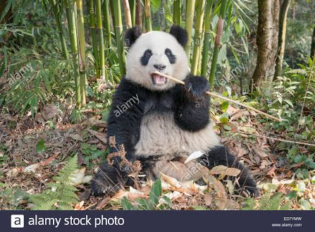 Image result for giant panda eating