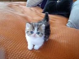 teacup kittens - Google Search