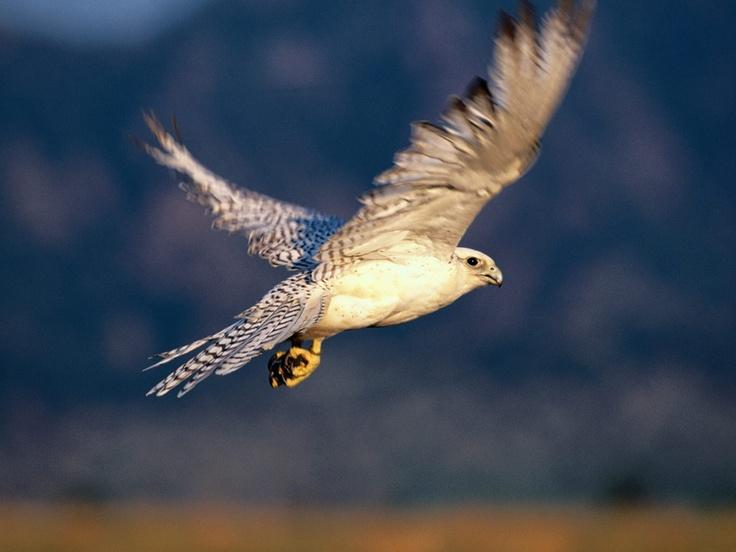 Bütün kuşların dilinden anlaması ile ün salmış Süleyman Peygambere bir gün doğan kuşu gelerek adamın birini şikayete koyulur ve der ki: