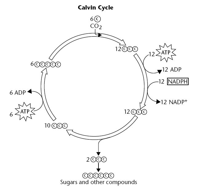 Light-Independent Reactions and Calvin Cycle Diagram