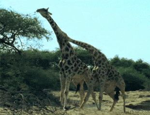 Your life hasn't been completed until you see giraffes fighting