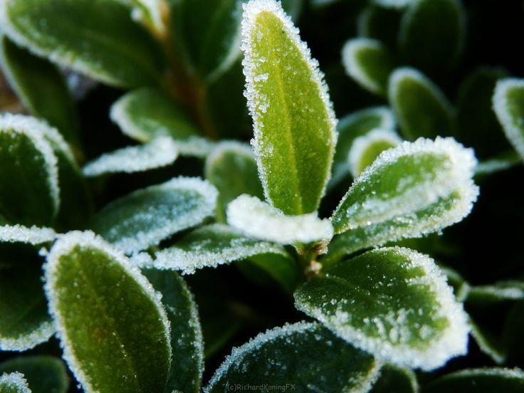 groene bladeren met witte vorst randen Green leaves with frost