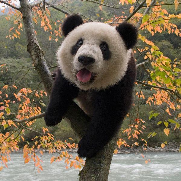 Populaire Best 25+ Panda family ideas on Pinterest | Baby pandas, Panda bear  WC14