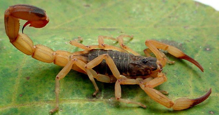 Escorpión Tictus amarillo