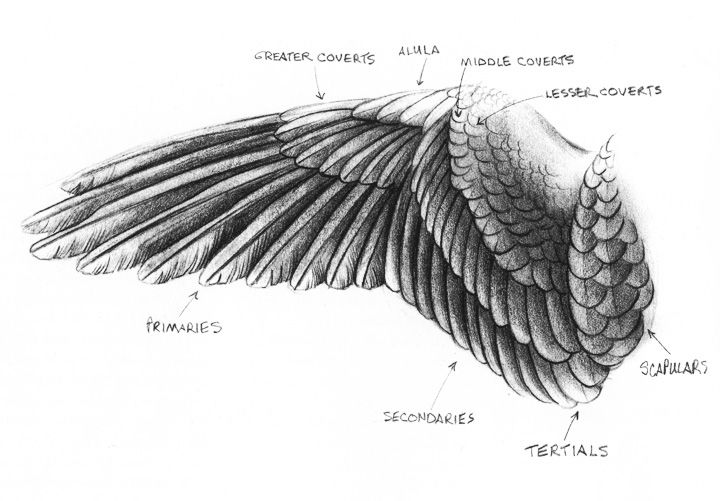eagle wings | Wing drawing by Sandy Scott showing 3 main flight feather groups and ...