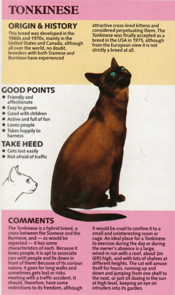 The Breeds - Tonkinese