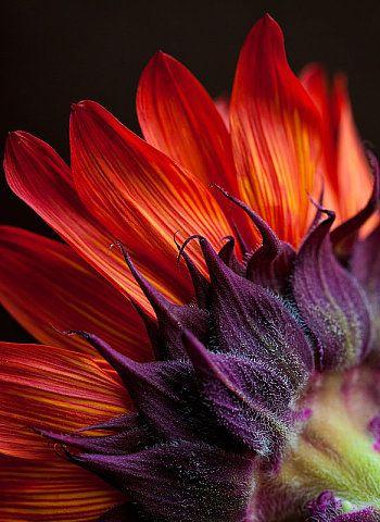 Floral Flames by Linda Yee: Colors Pallets, Colors Combos, Red Sunflowers, Purple Flowers, Red Flowers, Vibrant Colors, Colors Combinations, Orange Flowers, Colors Flowers