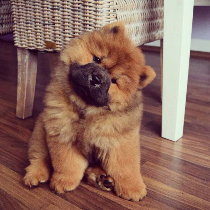 Best Chow Chow Images On Pinterest Chow Chow Adorable - This instagram chow chow looks like a fluffy potato and its so cute it doesnt even look real