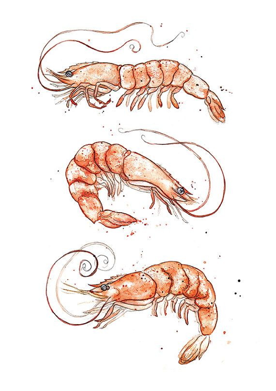Giclee Fine Art Print: Pink Shrimp Prawns by AmyHolliday on Etsy