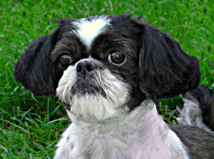 what does a shih tzu dog look like 17 images about dogs that look like mine on pinterest 9769