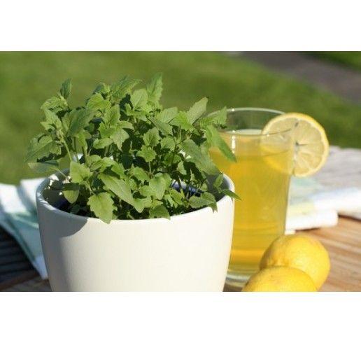 Agastache mexicana / Limonádová bylinka, K12