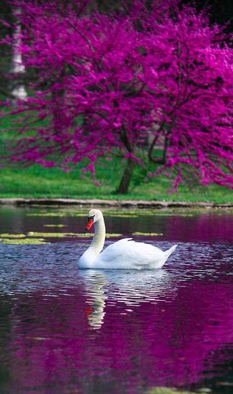 """<** """"The Swan,"""" with Yo-Yo Ma. Exquisite Cello Piece. """"Le Cygne illustrates the fleeting nature of beauty, with its interpretation of the legend…"""