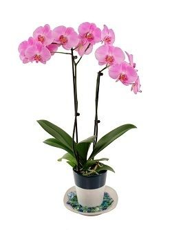 17 best images about orchids on pinterest blog tips vases and blog - How to care for potted orchids ...