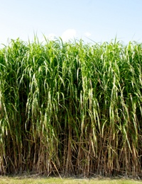 Miscanthus x giganteus - NZ wants to create biofuel from this big grass