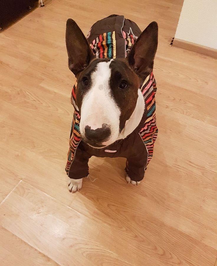 Rya, frumoasa si eleganta in Salopeta de Ploaie de la King Maru --> https://kingmaru.ro/  #hainecaini #accesoriicaini #imbracamintecaini #caine #caini #catel #catei #dog #dogs #kingmaru