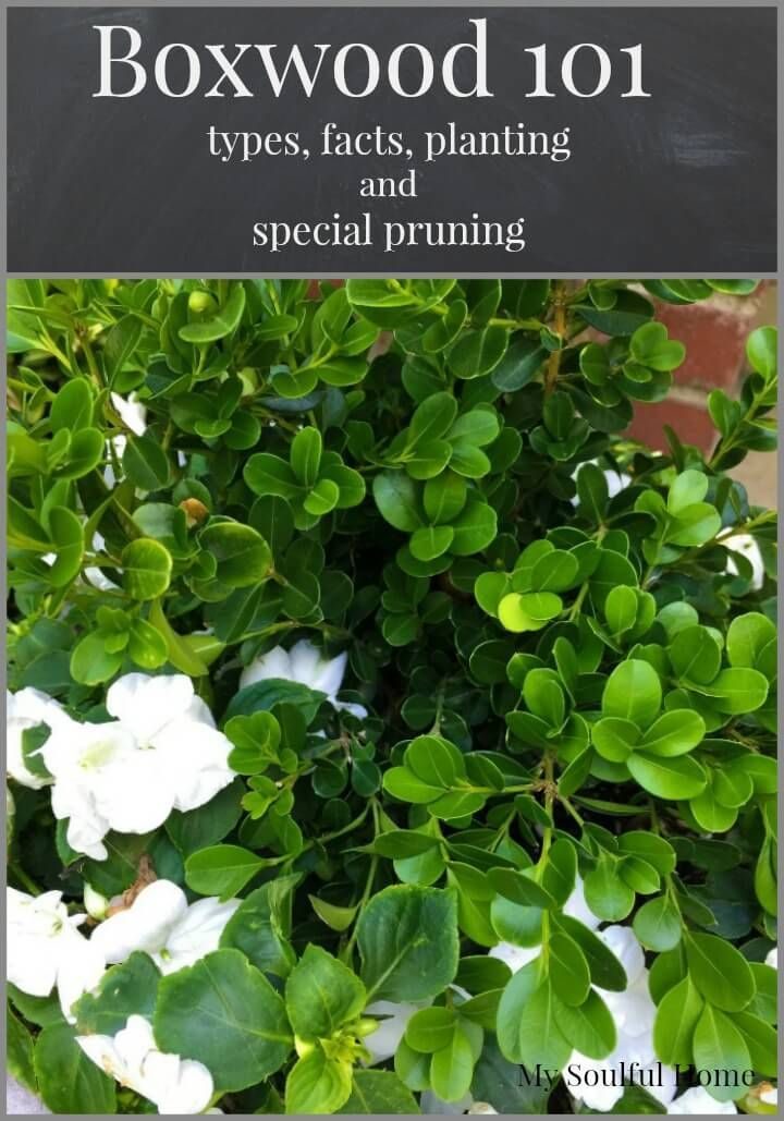 Boxwood Shrubs 101 A Guide to types, facts, planting and the special way you need to prune them ~ and a Boxwood cheat sheet on varieties & characteristics so you can choose the right ones for your garden.