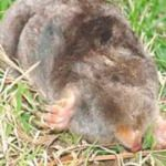 Moles are notorious for the damage they cause to sod nurseries, golf courses, parks, cemeteries, residential lawns, ornamental planting beds and gardens as a result of their digging and tunneling in search of turfgrass insects and earthworms upon which to feed. The eastern mole is the most common and damaging mole encountered in these habitats.