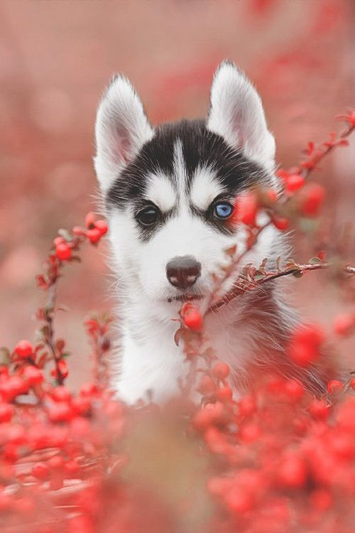 1000+ images about HUSKIES!!! ️ on Pinterest