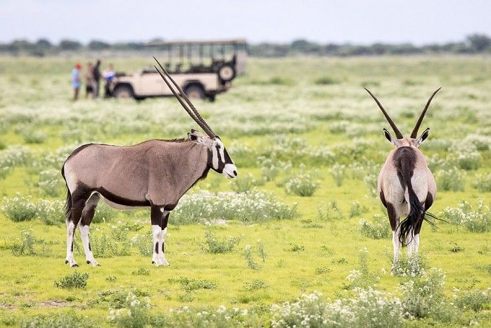 """Oryx at Kalahari Plains - covered in """"scorpion tail"""" - a wild flower"""