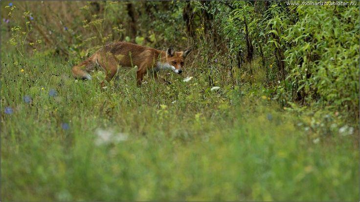 vörös róka mielőtt eltűnik a sűrűben