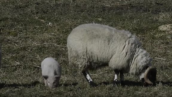 This confused pig thinks it's a sheep
