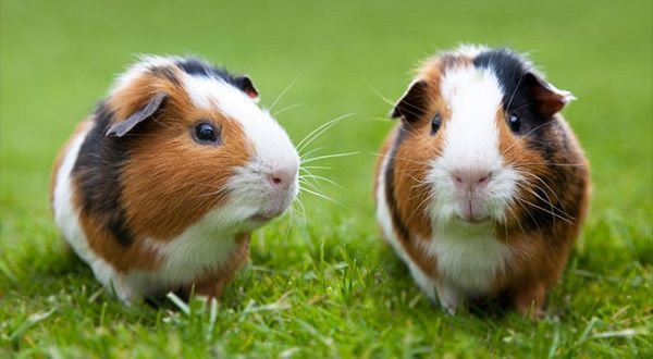 Guinea pig Top 10 Animals With Shorter Life Span In The World