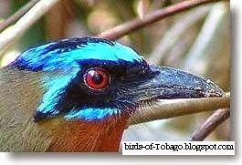Blue - crowned Motmot  http://birds-of-tobago.blogspot.com/2013/10/blue-crowned-motmot.html  #Blue - crowned Motmot #motmot #birds #Tobago #West Indies #Caribbean