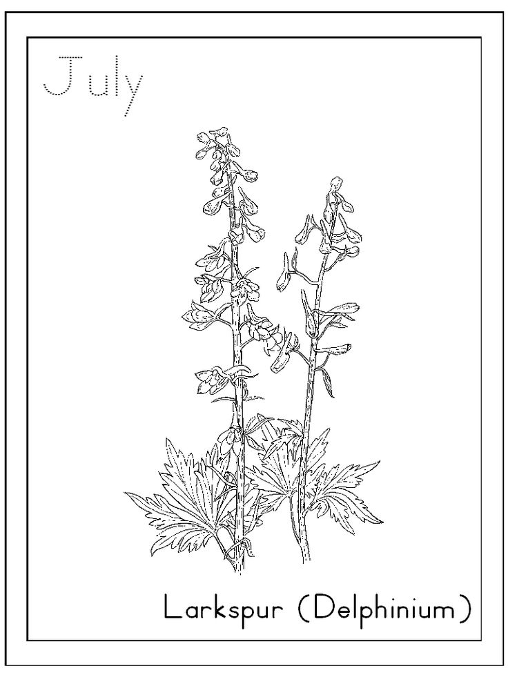 Delphinium Flowers Drawing Larkspur Flower Drawing