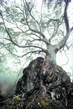 knotted tree in mist - Google Search