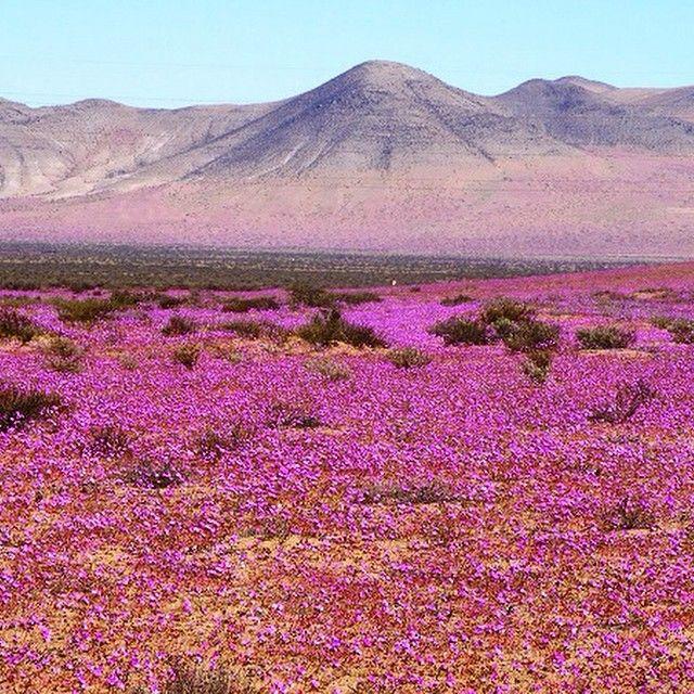 O Deserto do Atacama, um dos locais mais secos do mundo, está tomado por uma gigante quantidade de flores. O fenômeno é conhecido como Desierto Florido e acontece a cada 4 ou 5 anos, mas desta vez, as intensas chuvas provocadas pelo El Niño, fizeram com que o espetáculo fosse muito mais intenso e surpreendente. #chile #atacama #desertodoatacama #americadosul #desiertoflorido #consultoriadeviagem