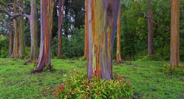Si tratta di una tipologia di eucalipto dal tronco multicolore, il cui nome latino è Eucalyptus deglupta; è parte dell'unica specie di eucalipto la cui presenza sia riscontrabile nell'emisfero settentrionale. Le sue fotografie possono suscitare il dubbio che esso sia stato dipinto o sottoposto a fotoritocco, ma i suoi colori arcobaleno sono del tutto frutto dell'opera di Madre Natura