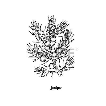 branche d'arbre avec des baies de genièvre. Vector illustration isolé sur fond blanc. style de gravure ancienne. Banque d'images - 63421520